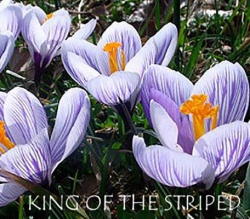King-Of-The-Striped