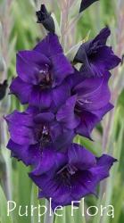 Purple-Flora