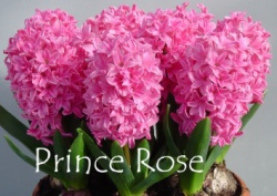 Prince-Rose