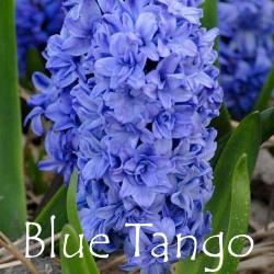blue-tango
