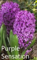 purple-sensation