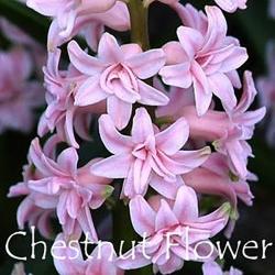 Chestnut-Flower