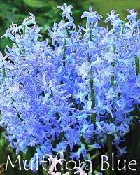 Multiflora-Blue
