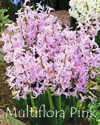 Multiflora-Pink