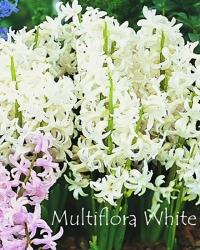 Multiflora-White