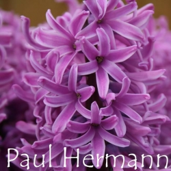 Paul-Hermann