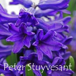 Peter-Stuyvesant