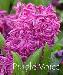Purple-Voice