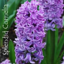 Splendid-Cornelia