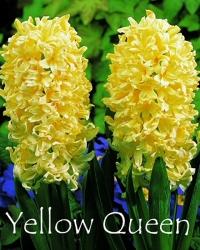 Yellow-Queen