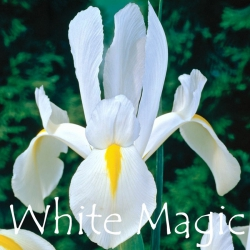White-Magic