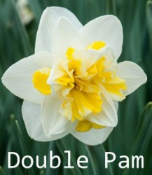 Narcissus 'Double Star'