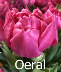 Oeral